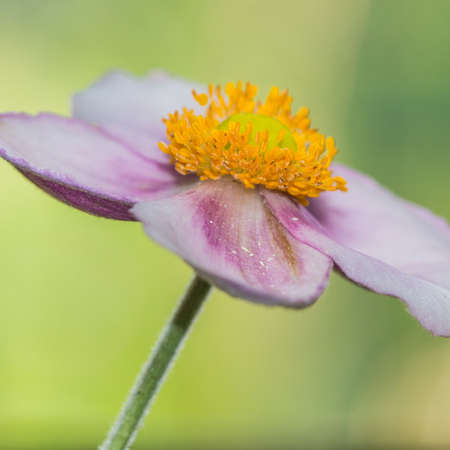 A macro shot of a pink Japanese anemone bloom.