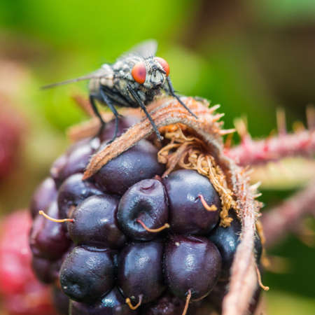 A macro shot of a fly sitting atop a large bramble fruit. Stock Photo