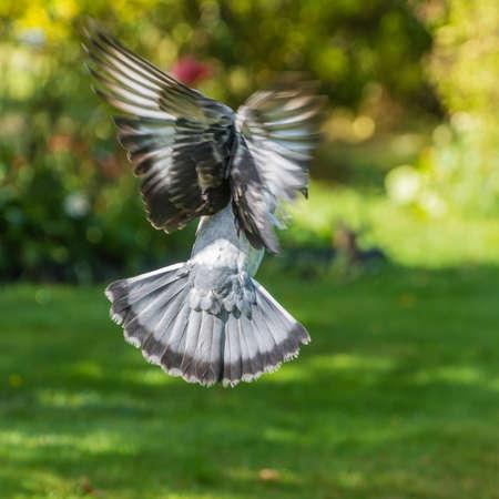 feral: A feral pigeon flies into a garden.