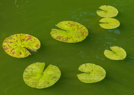 pacman: A shot of some pacman like lily pads.