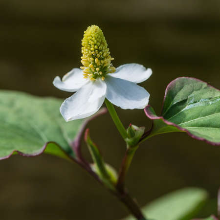 A macro shot of a late houttuynia cordata bloom.