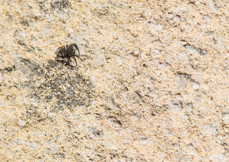 salticidae: Looking down on a small variety of jumping spider.