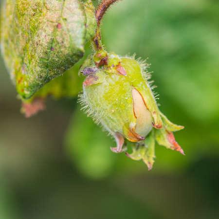 hazel tree: A macro shot of a hazelnut growing on a corkscrew hazel tree.