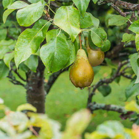 Some pears hang around in a pear tree. photo