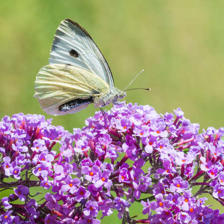 A macro shot of a large white butterfly collecting pollen from a buddleia bush. Stock Photo - 21881266