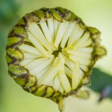ox eye: A macro shot of an ox eye daisy bud. Stock Photo