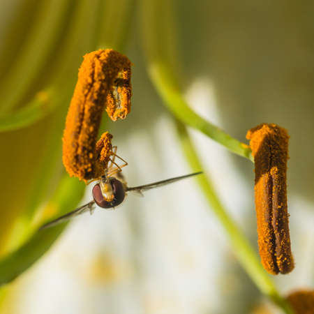 A macro shot of a hoverfly collecting pollen from an oriental lily.