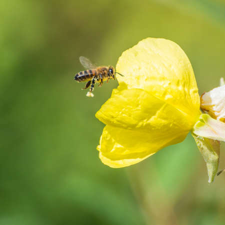 evening primrose: A macro shot of a bee flying past an evening primrose bloom. Stock Photo