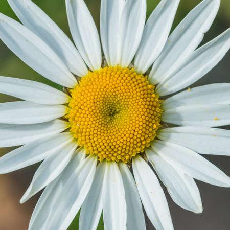 ox eye: A macro shot of an ox eye daisy.