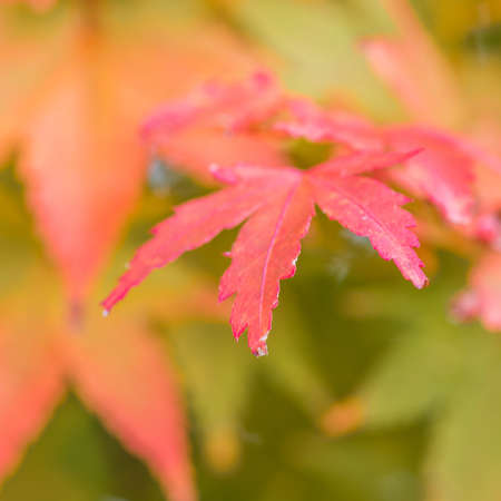 The leaves of an acer tree starting to turn from green to brown. Stock Photo - 22070029