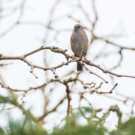 prunella: A dunnock sits on a tree branch.