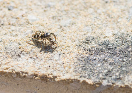 salticidae: A macro shot of a zebra jumping spider eating a fly.