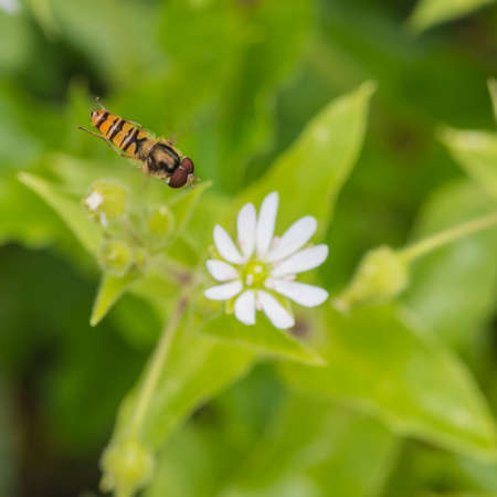 chickweed: A macro shot of a hovering hoverfly above a chickweed bloom. Stock Photo