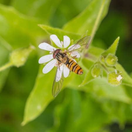 chickweed: A macro shot of a hoverfly collecting pollen from a chickweed bloom.