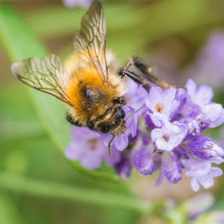 bombus: A macro shot of a bumblebee collecting pollen from a lavender bloom.