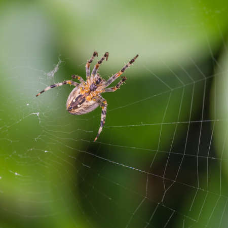 orb weaver: An orb weaver spider guards its web.