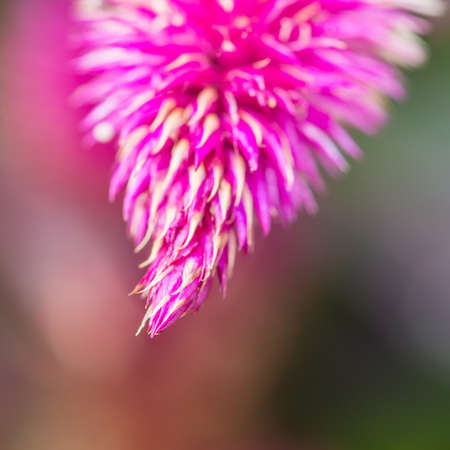 caracas: A macro shot of a purple celosia caracas bloom. Stock Photo