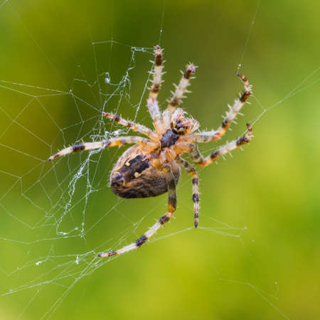 A macro shot of an orb weaver spider. photo