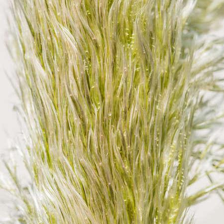 pampas: A macro shot of some pampas grass seeds.
