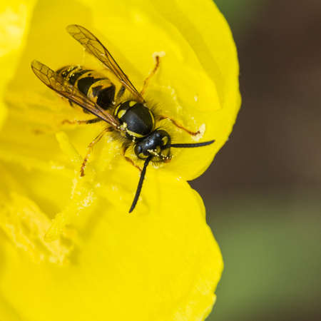 evening primrose: A macro shot of a wasp feeding from an evening primrose bloom.
