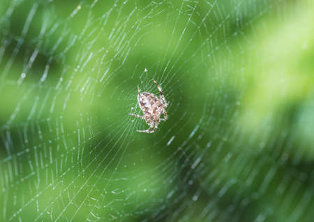 orb weaver: A macro shot of an orb weaver spider sitting in its web. Stock Photo