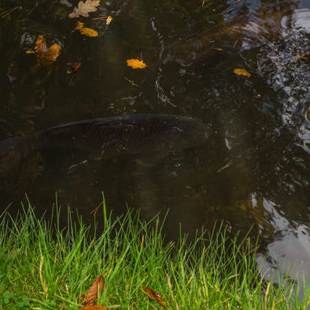 exbury: A shot of a large fish below the surface of the water  Stock Photo