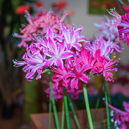 exbury: A macro shot of some pink nerine blooms at a flower exhibition. Stock Photo