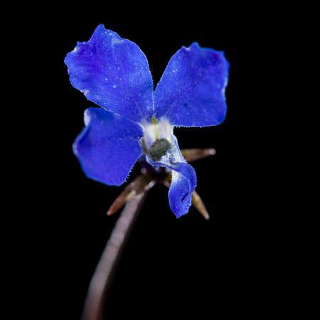 lobelia: A macro shot of a little blue lobelia bloom