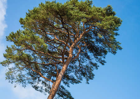 exbury: A large tree is bathed in sunlight and set against a blue sky.