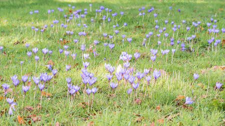 exbury: A shot of a multitude of autumn flowering bulbs.