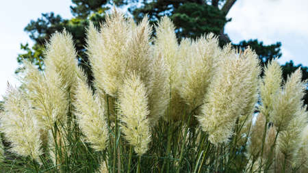exbury: The seed heads of a group of pampas grasses. Stock Photo