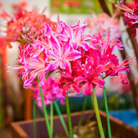 A macro shot of a bunch of nerine blooms.