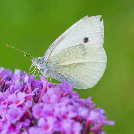 A macro shot of a small white butterfly feeding from a buddleia bush. photo