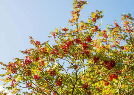 exbury: A shot of a rowan tree and its red berries.