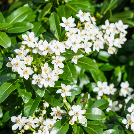 A shot of some white flowers of a late flowering shrub.