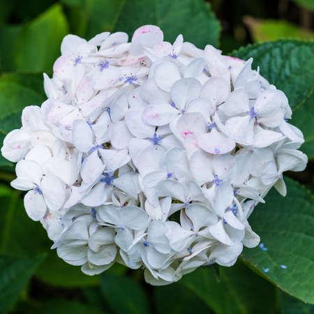 exbury: A macro shot of a hydrangea bloom.