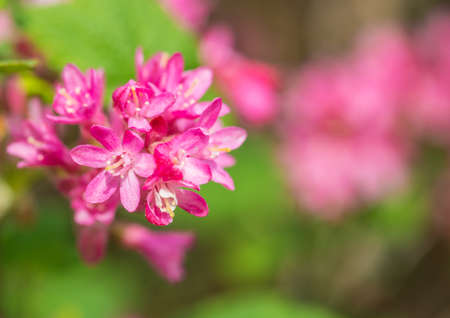 The pink springtime blooms of a flowering currant bush stock photo the pink springtime blooms of a flowering currant bush stock photo picture and royalty free image image 24199636 mightylinksfo