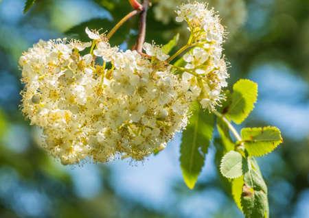 A macro shot of some rowan tree blossom. Stock Photo