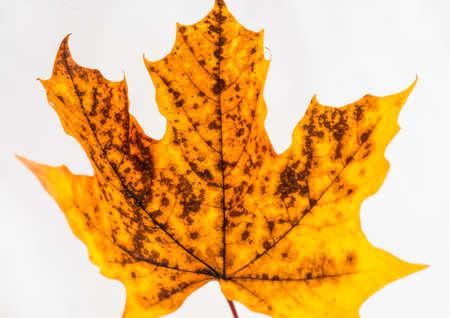 sycamore leaf: A macro shot of a sycamore leaf.