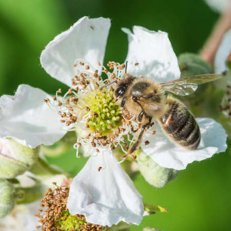 bramble: A macro shot of a bee on a bramble bloom. Stock Photo