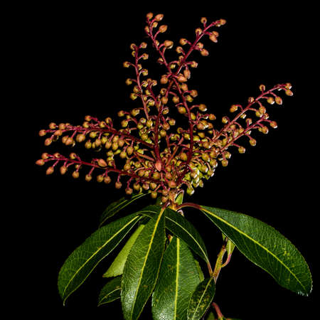 A macro shot of the flower buds of the forest flame bush, shot against a black background  photo