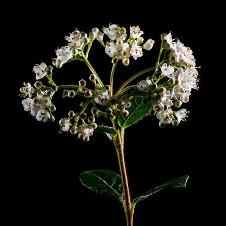 A macro shot of some white viburnum bush bloom shot against a black background. photo
