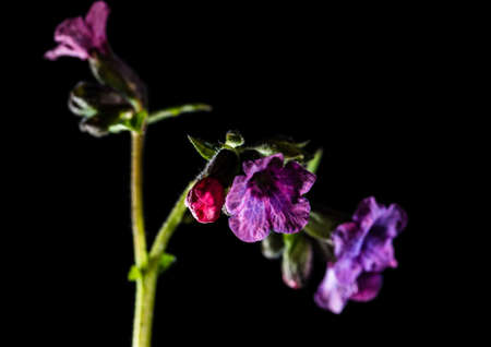 A macro shot of a pulmonaria flower head. photo