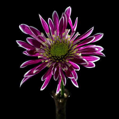 A macro shot of a purple coloured chrysanthemum. photo