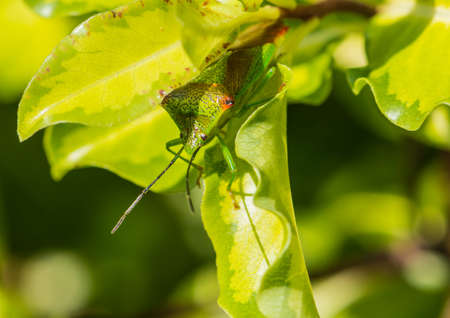 green shield bug: A macro shot of a green shield bug hiding in a green leaf.