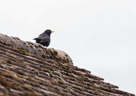 A shot of a blackbird sitting on a garage roof. photo