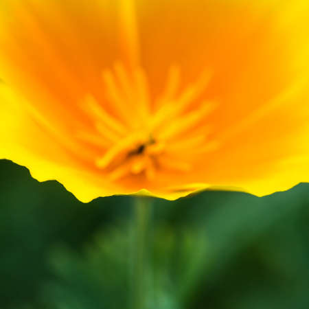 californian: A macro shot of a Californian poppy.