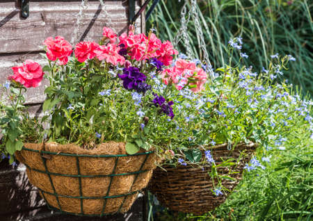 lobelia: Hanging baskets hanging from a garden shed. Stock Photo