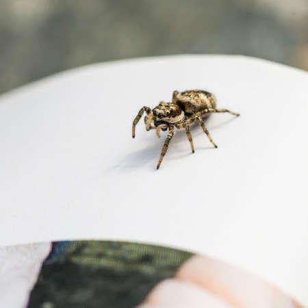 salticidae: A macro shot of a zebra jumping spider.