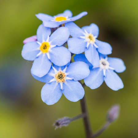 A macro shot of a cluster of blue forget me not blooms. Stock Photo